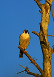 Adult Peregrine Falcon In Early Light