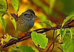 Swamp Sparrow On Dewy Mid-Autumn Morning