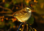White-Throated Sparrow In Autumn