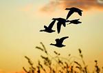 Atlantic Brant Flight Silhouette In Mid November Salt Marsh