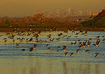 Atlantic Brant And New York City Skyline In Late October
