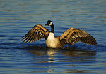 Canada Goose Bathing In Early November