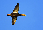 American Black Duck Flight In November