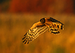 Northern Harrier Hovering In Last Light