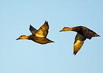 American Black Duck Pair In Flight