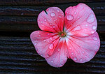 Geranium Blossom And Raindrops In November