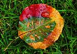 Autumn Leaf In Multi-Hued Colors