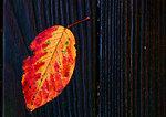Autumn Leaf On Bench On Rainy Day