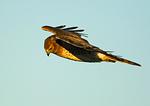 Male Northern Harrier Hovering Above Salt Marsh