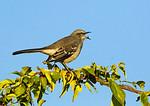 Mockingbird Regurgitating Sumac Seed