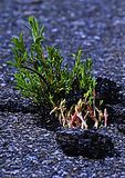 New Willow Shoots Pushing Through Blacktop