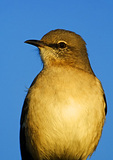 Northern Mockingbird Close-Up