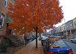 Sugar Maple In Queens Block In Autumn