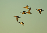 American Widgeon Flock In Flight