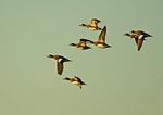 American Wigeon Flock In Flight