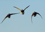 Female Flight Group Of Greater Scaup In Autumn