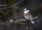 Gray Jay On Snowy Afternoon
