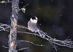 Gray Jay In Snow