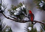 Pine Grosbeak On Snowy Pine Boughs