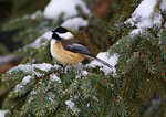 Black-Capped Chickadee Perched On Snowy Bough