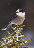 Gray Jay Perched On Spruce In Winter