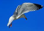 Herring Gull Hovering