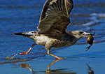 Juvenile Herring Gull Running With Crab