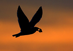 Silhouette Of Gull Ready To Drop Clam