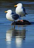 Mated Pair Of Herring Gulls Portrait In Spring