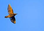 European starling In Flight