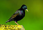 European Starling In Spring