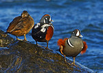 Mixed Group Of Harlequin Ducks On Rock