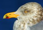 Herring Gull Adult, Winter Plumage