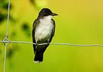 Eastern Kingbird In Grassland Habitat