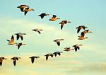 Flock Of Snow Geese Flight In Pastel-Colored Sky