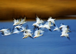 Snow Geese And Salt Marsh Abstract Impression