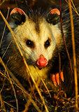 Young Opossum Close-Up