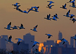 Snow geese At Dusk With Brooklyn Background