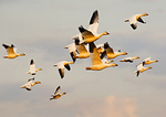 Snow Geese Flock In Late Light