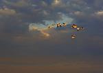 Snow Geese Flying Against Darkening Sky
