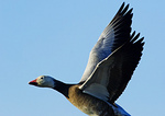 """Blue Goose"", Snow Goose Close-Up In Flight"