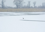 Lone Canada Goose, Frozen Pond, It's Snowing