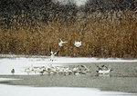 Snow Geese, Winter Pond, Snow Falling