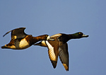 Greater Scaup Pair In Flight