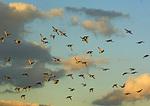 Mixed Scaup Flock Flight In Flight In Mid November