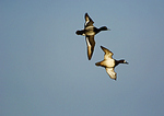 Greater Scaup Pair In Spring Migration