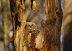 Great Horned Owlet In Nest Cavity