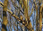Great Horned Owl In Beech Woods