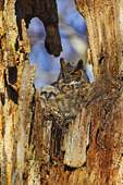 Nesting Great Horned Owl And Owlet