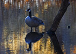 Canada Goose, Late March Pond